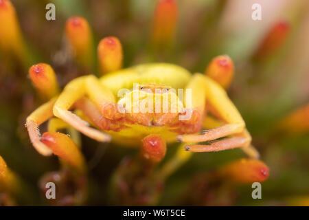 Macro photo of a crab spider thomasade on a black-eyed-susan - Stock Photo