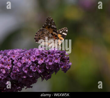 The buddleia flowering shrub is a magnet for all pollinators during the summer months. - Stock Photo