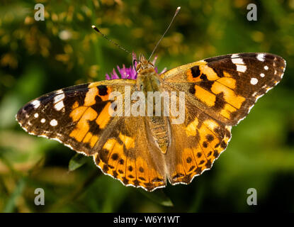A close up of a painted lady butterfly as it drinks nectar from a knapweed flower. (UK) - Stock Photo