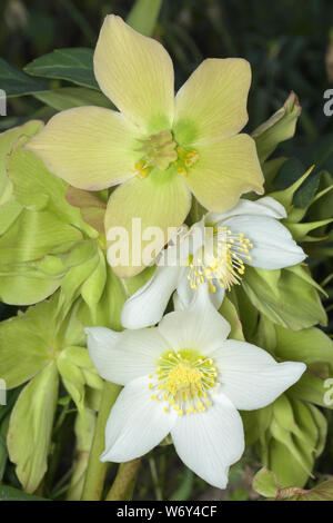 Helleborus niger, Christmas rose - Stock Photo