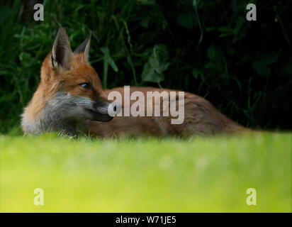 A wild Red Fox (Vulpes vulpes) relaxes in the early evening, Warwickshire - Stock Photo