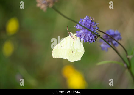 Common Brimstone (Gonepteryx rhamni) butterfly on a Devil's-bit scabious (Succisa pratensis) - Stock Photo