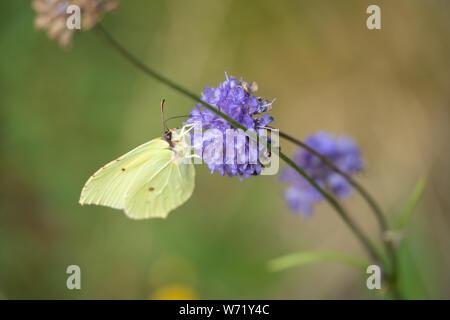 Common Brimstone (Gonepteryx rhamni) butterfly on a Devil's-bit scabious (Succisa pratensis) - Stock Photo