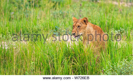 portrait of lioness (Panthera leo) in lush green savannah grass, Murchison Falls National Park, Uganda, Africa - Stock Photo