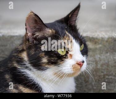 Tortoiseshell farm cat - Stock Photo