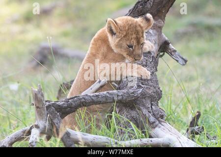 A small lion (Panthera leo) cub exploring it's surroundings. - Stock Photo