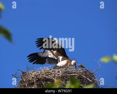 couple of young storks in the nest, one of them with open wings - Stock Photo