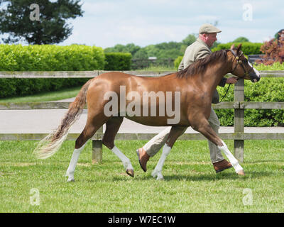A bay Welsh Section A pony being trotted up in the show ring. - Stock Photo
