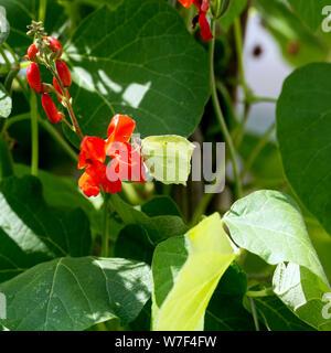 A Brimstone butterfly (Gonepteryx rhamni) on runner bean flowers - Stock Photo