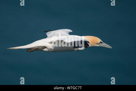 Gannet seen at eye level and in flight moving from left to right - Stock Photo