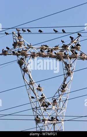 Common cormorants (Phalacrocorax carbo) nesting on a power pylon, Bulgaria, June - Stock Photo