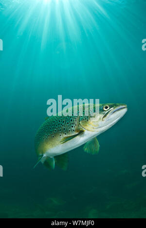 Brown trout (Salmo trutta) swimming through sun beams in a freshwater lake, Capernwray Quarry, Lancashire, UK, July - Stock Photo