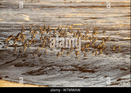 Flock of Knot (Calidris canutus) in flight over mudflats, Leigh-on-Sea, Essex, England, UK, December. - Stock Photo