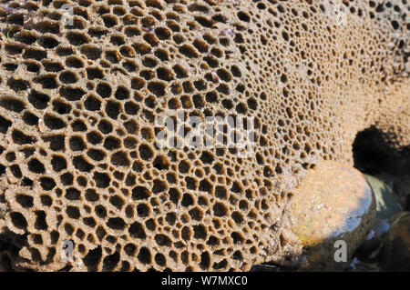 Honeycomb worm reef (Sabellaria alveolata) with clustered tubes built of sand grains attached to boulders, exposed at low tide, St.Bees, Cumbria, UK, July. - Stock Photo