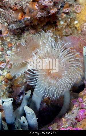 Tube worm / Double sprial worm (Bispira volutacornis) Channel Islands, UK June - Stock Photo