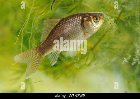 Wild reverted form of Domestic goldfish (Carassius auratus) captive, Herefordshire, England, UK, April - Stock Photo
