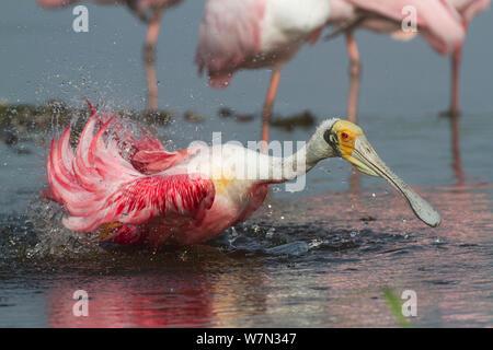 Adult Roseate Spoonbill (Platalea ajaja) in breeding plumage, bathing. Sarasota County, Florida, USA, April. - Stock Photo