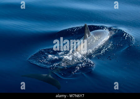 Spinner dolphin (Stenella longirostris) surfacing, Aldabra Atoll, Seychelles, Indian Ocean - Stock Photo