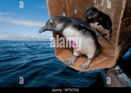 Black footed penguins (Spheniscus demersus) being released at sea near Robben Island, Table Bay after rehabilitation at Southern African Foundation for the Conservation of Coastal Birds (SANCCOB) Cape Town, South Africa 2010 - Stock Photo