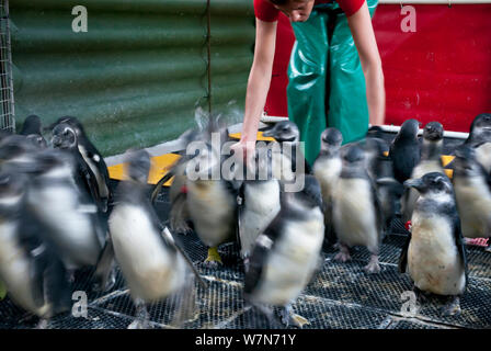 Black footed penguins (Spheniscus demersus) being encouraged to move from pen to swimming pool, part of rehabilitation at Southern African Foundation for the Conservation of Coastal Birds (SANCCOB) Cape Town, South Africa - Stock Photo