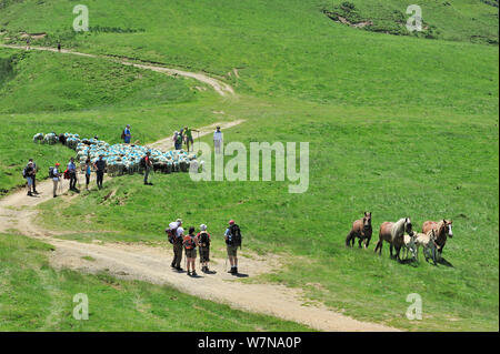 Shepherd and tourists herding flock of sheep (Ovis aries) to pasture up in the mountains along the Col du Soulor, with free roaming horses, Hautes-Pyrenees, Pyrenees, France, June 2012 - Stock Photo