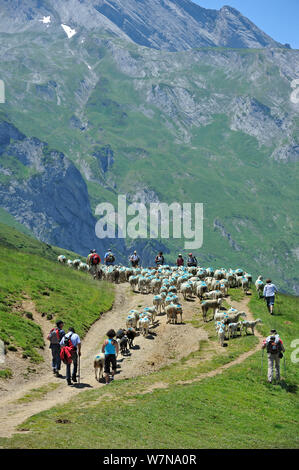 Shepherd and tourists herding flock of sheep (Ovis aries) to pasture up in the mountains along the Col du Soulor, Hautes-Pyrenees, Pyrenees, France, June 2012 - Stock Photo