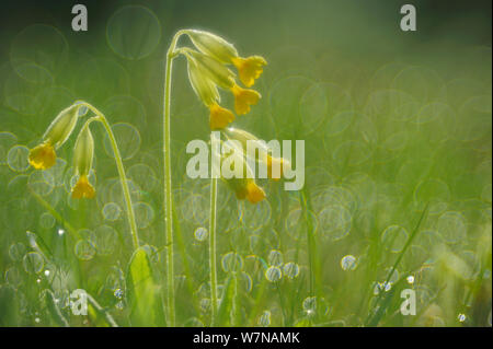 Cowslip (Primula veris) flowers in dew covered grass, April - Stock Photo