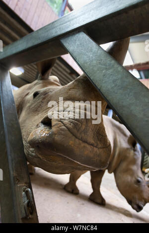 White rhino (Ceratotherium simum) at Colchester Zoo taking part in a special research project on rhino feet by Royal Veterinary College Professor John Hutchinson, May 2012. Editorial use only - Stock Photo