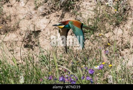 European Bee-eater (Merops apiaster) in flight soon after leaving its nest hole.  Alentejo, Portugal, May. - Stock Photo