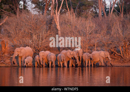 Herd of elephants (Loxodonta africana) drinking in the Linyanti River during the dry season, Chobe National Park, Botswana. - Stock Photo