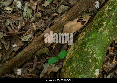 'Bodaba' leaf (Grossera macrantha) nestled against Strangler Fig tree root system and a 'Babango' seedling (Diospyros bipindensis or iturensis) Bai Hokou, Dzanga-Ndoki National Park, Central African Republic. - Stock Photo