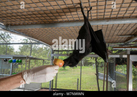 Central / Black flying fox (Pteropus alecto) Rusty being mischievous as carer feeds him apple in the aviary, Tolga Bat Hospital, North Queensland, Australia November 2012 - Stock Photo
