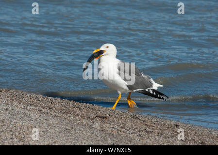 Yellow-footed Gull (Larus livens). carrying a large fish, on beach at the Salton Sea. Salton Sea National Wildlife Refuge, California, USA, October. - Stock Photo