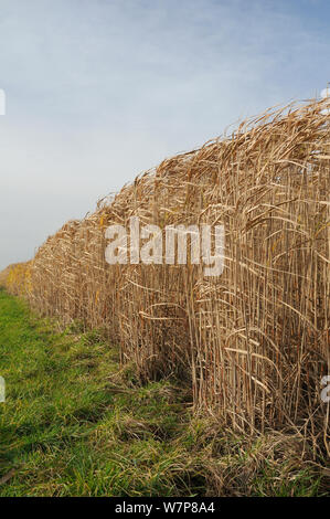 Elephant grass (Miscanthus giganteus) grown as an energy crop for use in biomass boilers, Willtshire, UK, December. - Stock Photo
