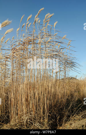 Elephant grass (Miscanthus giganteus) flowering, grown as an energy crop for use in biomass boilers, Willtshire, UK, December. - Stock Photo