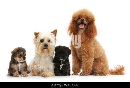 Yorkie mother, Evie, and Poodle father, Raggie, with Yorkipoo puppies, 6 weeks old. - Stock Photo