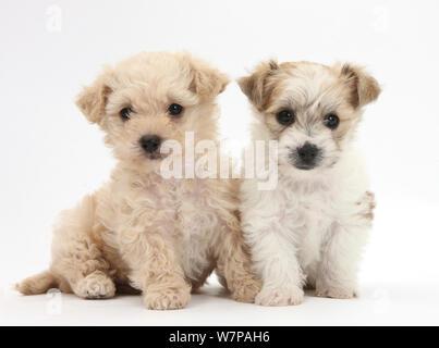 Bichon Frisé x Yorkshire Terrier pups, 6 weeks old. - Stock Photo