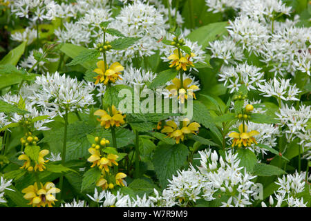 Ramsons (Allium ursinum) growing among Yellow Archangel (Lamium galeobdolon)  Norfolk, May - Stock Photo