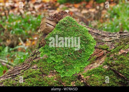 Lichen (Lobaria virens) growing on fallen oak trunk in Beech woodland, Killarney National Park, County Kerry, Ireland, November - Stock Photo