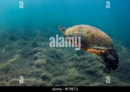 Florida red-bellied cooter (Pseudemys nelsoni) swims over a riverbed. Crystal River, Florida, United States of America. - Stock Photo