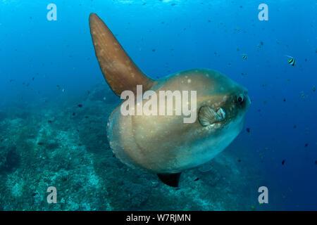 Ocean Sunfish (Mola Mola) swimming through a shoal of different fish including Longfin Bannerfish (Heniochus acuminatus) Crystal Bay, Nusa Penida, Bali Island, Indonesia, Pacific Ocean - Stock Photo