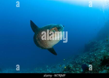 Ocean Sunfish (Mola Mola) with Longfin bannerfish (Heniochus acuminatus) Crystal Bay, Nusa Penida, Bali Island, Indonesia, Pacific Ocean - Stock Photo
