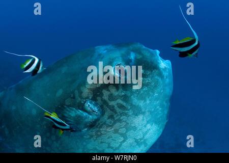 Ocean Sunfish (Mola mola) with Longfin bannerfish (Heniochus acuminatus) cleaning the skin, Crystal Bay, Nusa Penida, Bali Island, Indonesia, Pacific Ocean - Stock Photo
