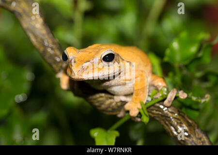 Golden Treefrog (Polypedates leucomystax) captive, from tropical Asia (Philippines to India). - Stock Photo