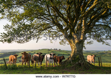 Curious cattle beneath a tree in Devon, England. June 2013. - Stock Photo