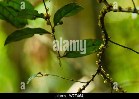 Babango tree (Diospyros bipindensis / iturensis) flowers, leaves are food plant for many primates including Gorillas and Chimpanzees, Bai Hokou, Dzanga-Ndoki National Park, Central African Republic. - Stock Photo