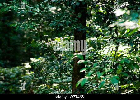 Babango (Diospyros bipindensis or Diospyros iturensis) tree. Food plant for many primates including Gorillas and Chimpanzees, Bai Hokou, Dzanga-Ndoki National Park, Central African Republic. - Stock Photo