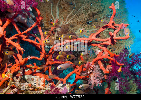 Shimmering cardinals (Archamia lineolata) on coral reef with Red rope sponge (Amphimedon compressa) and soft corals and a gorgonian in background. Egypt, Red Sea. - Stock Photo