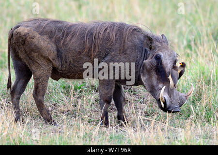 Warthog (Phaecochoerus aethiopicus) with adult and juvenile yellow billed oxpeckers (Buphagus africanus) grooming, Masai Mara National Reserve, Kenya, Africa. - Stock Photo