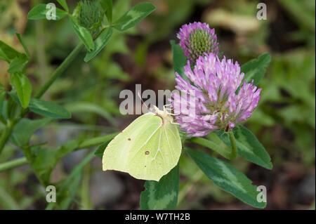 Brimstone moth (Gonepteryx rhamni) male feeding on clover nectar, South Karelia, southern Finland, September. - Stock Photo